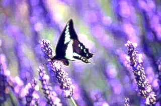 zebra swallowtail visits lavender